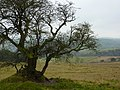 Gnarled old Hawthorn on Longstone Moor - geograph.org.uk - 1556799.jpg
