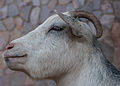 Goat breeds from Venezuela.jpg