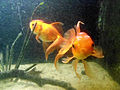 Gold fish (Carassius auratus) at meenalokam aquarium.JPG