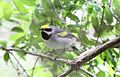 Golden-winged Warbler (Vermivora chrysoptera) (8732012715).jpg