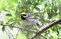 Golden-winged Warbler (Vermivora chrysoptera) (8732012715).jpg