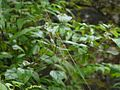 Golden Orb Web spider (6185515924).jpg