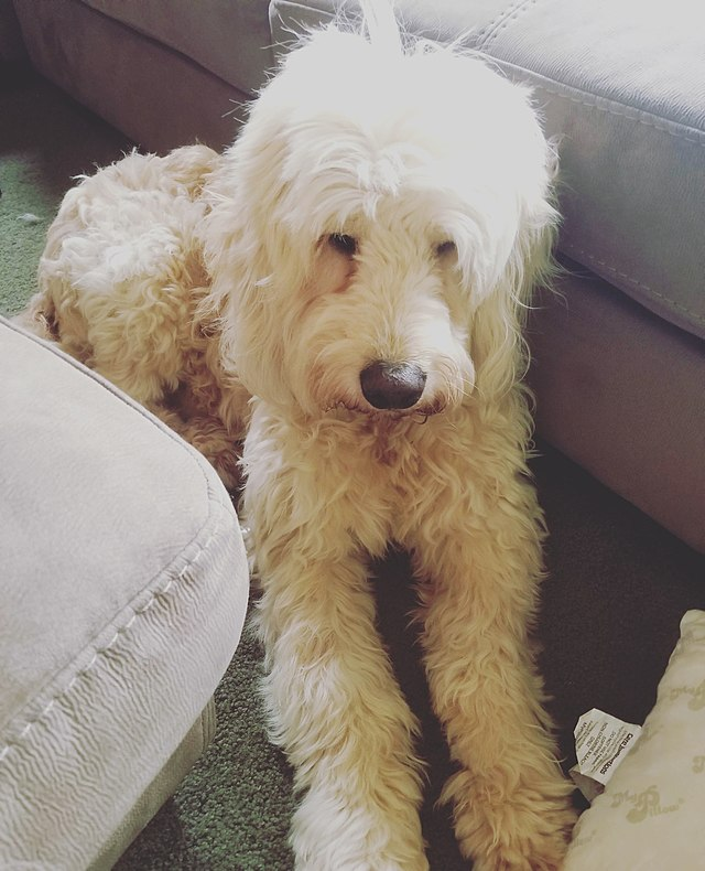 Goldendoodle Wikiwand