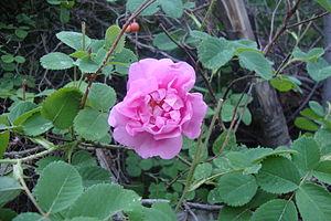 Rosa × damascena - Image: Gole mohamadi
