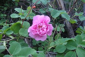 Golabgiri - Gole Muhammadi (Rose flower)