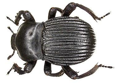Gonopus tibialis (Fabricius, 1798) (3989862005)