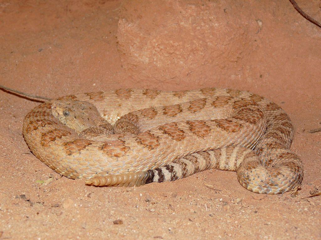 Grand Canyon pink rattlesnake