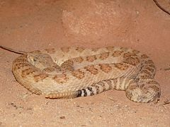 240px grand canyon pink rattlesnake