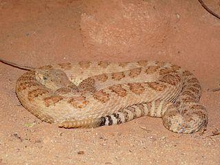 <i>Crotalus oreganus abyssus</i> subspecies of reptile