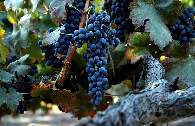 File:Grape of old vine shiraz.jpg