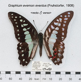 <i>Graphium evemon</i> species of insect