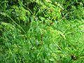 Graphosoma-lineatum-17-VII-2007-06.jpg
