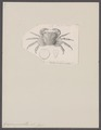 Grapsus pusillus - - Print - Iconographia Zoologica - Special Collections University of Amsterdam - UBAINV0274 094 05 0005.tif
