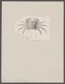 Grapsus pusillus - - Print - Iconographia Zoologica - Special Collections University of Amsterdam - UBAINV0274 094 05 0005.tif
