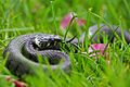 Grass Snake (Natrix natrix) (7159865387).jpg