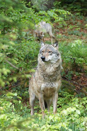 Field Guide Mammals United States Minnesota Wikibooks