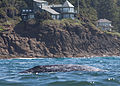Gray whale & houses, Depoe Bay.jpg