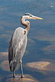 Great Blue Heron 5158.jpg