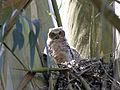 Great Horned Owl Baby - Flickr - GregTheBusker (1).jpg