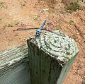 Great blue skimmer (Libellula vibrans).jpg
