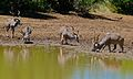Greater Kudus (Tragelaphus strepsiceros) (6628819243).jpg