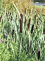 Greater Reedmace (Typha latifola) - geograph.org.uk - 497540.jpg