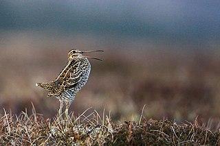 Great snipe species of bird