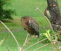 Green Heron.Butorides virescens - Flickr - gailhampshire.jpg