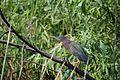 Green heron, Everglades National Park - panoramio.jpg