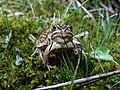 Grenouille des champs (Rana arvalis).jpg