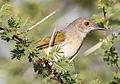 Grey-backed Camaroptera, Camaroptera brachyura, at Mapungubwe National Park, Limpopo, South Africa (18104685756).jpg