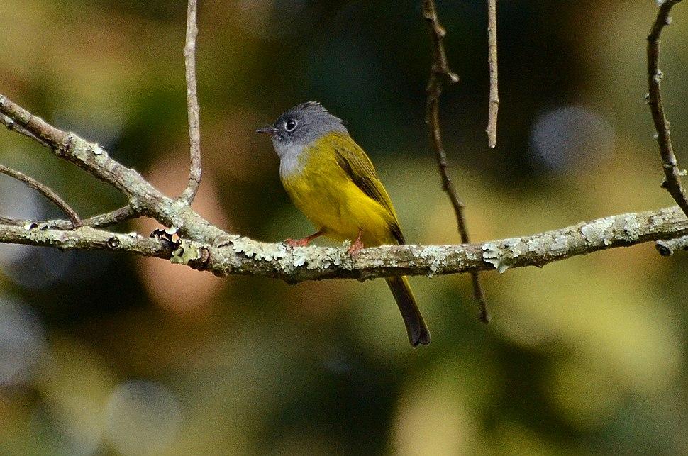 Grey-headed Canary Flycatcher Culicicapa ceylonensis from nilgiris DSC 1436