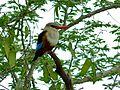 Grey-headed Kingfisher (Halcyon leucocephala) (6934552060).jpg