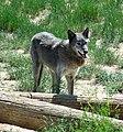 Grey Wolf (14332706791).jpg