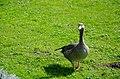 Greylag goose Nymphenburg gardens (1).jpg