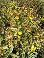 Grindelia camporum Grindelia robusta HabitusInflorescencesFruits BotGardBln0906b.JPG