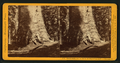 Grizzly Giant, (circum. 101 ft; the Largest Tree Know), Mariposa Co, by John P. Soule 6.png