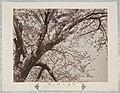Grote kersenbloesemboom van Mukaijima in Kyoto Mukaijima daishu no sakura (titel op object), RP-F-F01177-J.jpg