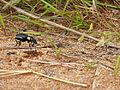 Ground Beetle (Anthia thoracica) (12909015055).jpg