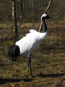 220px-Grus_japonensis_%28Aqua_Zoo%29.jpg