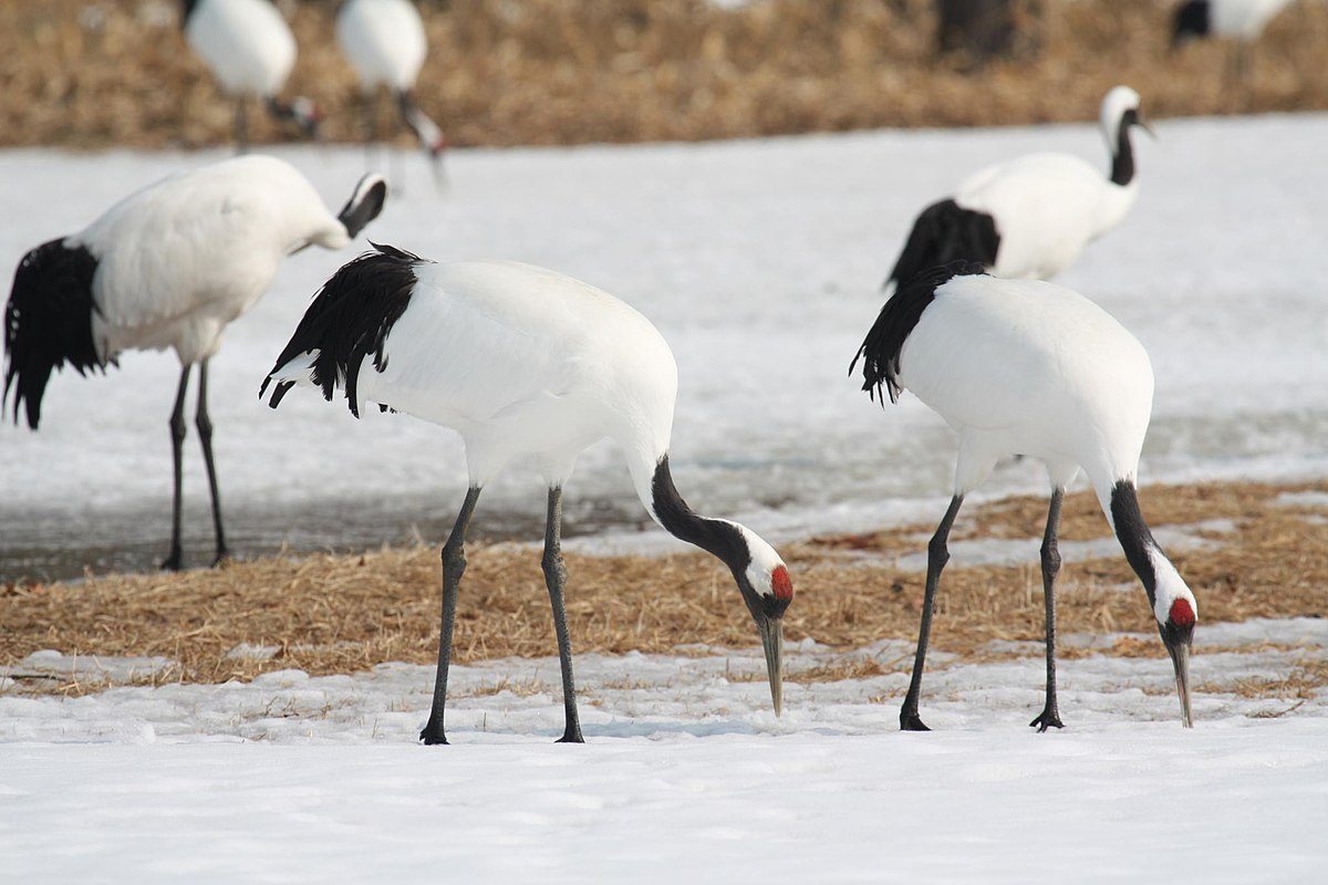 Red crowned crane wikipedia for The crain