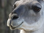 The face of a guanaco