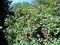 Guelder rose (Viburmum spulus), Tisbury - geograph.org.uk - 1494022.jpg