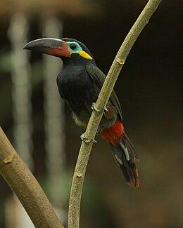 Guianan Toucanet -Dallas World Aquarium-male-8a