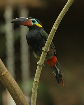 Guianan Toucanet -Dallas World Aquarium-male-8a.jpg