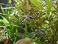 Guppies vor Pflanzengrund.jpg