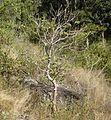 Gyrocarpus americanus habit.jpg