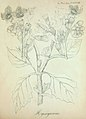 H. insanus-illust-1.jpg