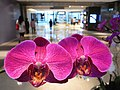 HK Central IFC Mall 蘭花 botany orchid purple red flowers April-2012.JPG