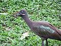Hadada ibis (7856546562).jpg